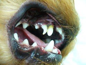 удаленные молочные зубы у собаки