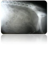 кесарево сечение у собаки метиса
