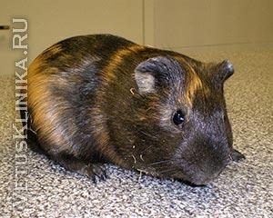 Болезни органов пищеварения у морских свинок