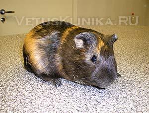 Заболевания кожи морских свинок