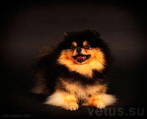 Острый и хронический панкреатит у собак